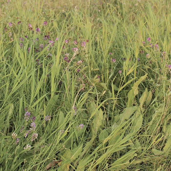 A beige Alfalfa picture